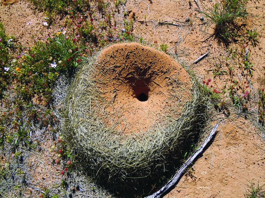 Ants Next - Wubin, Western Australia