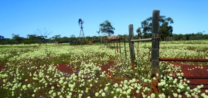 Wildflowers in Wubin, Western Australia