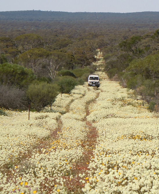 4wd Trip - Wubin Wildflowers